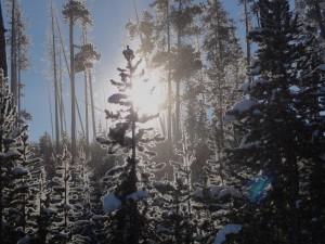 SunThroughFrostyTrees